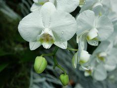 4 lépésben újra virágba borítjuk a lepkeorchideát | Hobbikert.hu