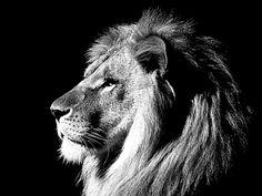wild_animal_lion_black_and_white_wallpaper+%283%29.jpg (640×480)