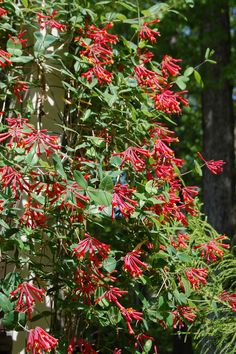 Native NC flowering plants that attract butterflies, hummingbirds, and bees. Great for a beautiful, pollinator-friendly garden.