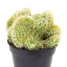 Mammillaria elongata cristata 'Brain Cactus'