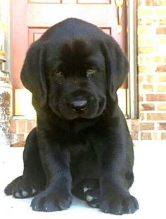 Cute Lab Puppies, Cute Dogs And Puppies, Doggies, Cute Animal Pictures, Puppy Pictures, Beautiful Dogs, Animals Beautiful, Puppy Face, Cute Little Animals
