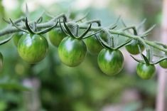 Dint your tomatoes make it all the way this year? Dont worry, the green tomatoes can still be made in to pickled tomatoes, perfect side to grilled meat. Pickled Green Tomatoes, Canning Tomatoes, Green Tomato Recipes, Whole Grain Wheat, Grilled Meat, Something To Do, Seeds, Nutrition, Vegetables