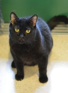 I'm Belvedere, and I'm an Angel Pet because of my Thyroid condition (nothing daily medication won't help) but it doesn't affect my personality! I'm an easygoing, older cat who is fairly low-maintenance. I'm at a point in my life where a good meal, a cozy nap, a gentle back rub and time spent with you make my day. Let's take life nice and easy together—take me home today! (I'm also available as an Adult Foster Pet)