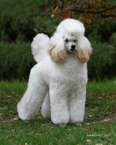 Puppy clip poodle hair style   For Women