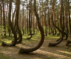 Poland's Mysterious Crooked Forest