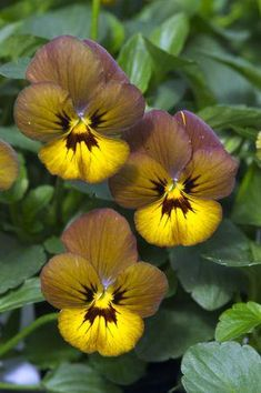 A very eye catching color blend sure The flowers of this viola have upper petals colored maroon with a hint of violet middle petals of olive green and brownish-yellow lower petals. Brown Flowers, Pretty Flowers, Fleur Pansy, Flowers Nature, Wild Flowers, Blossom Garden, Cottage Garden Plants, Spring Plants, Flower Seeds