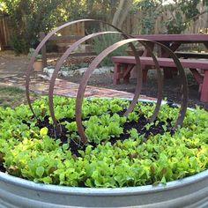 Butter lettuce in wine barrel hoop garden