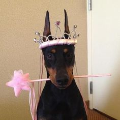 Fifi, #1 dog of all breeds in the country:  Ch Protocol's Veni Vidi Vici  aka The Fifinator :)