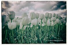 Clouds and Tulips Cheryl, Tulips, Clouds, Landscape, World, Nature, Plants, Photos, Photography