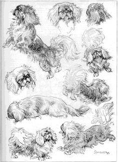 Pekingese drawing