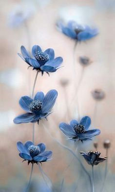 Hottest Free of Charge Blue Flowers photography Ideas Will you be holding an outdoor in the backyard? People unquestionably target to make it livelier plus more in My Flower, Pretty Flowers, Wild Flowers, Exotic Flowers, Cosmos Flowers, Beautiful Flowers Pics, Blue Flower Png, Lilies Flowers, Flower Close Up