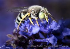 Mike's Spot - Creativity through Exploration: Bembix Sand Wasp - By Mike Busby Photography