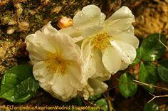 El jardín de la alegría : Penélope, un rosal del grupo de los híbridos almiz...