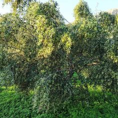 olive-oil-zakros-sitia-crete Olive Tree, Crete, Olive Oil, Plants, Plant, Planets