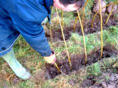 planting a living willow tunnel: ideas for attractive shade tunnels for veggie patch in South African garden