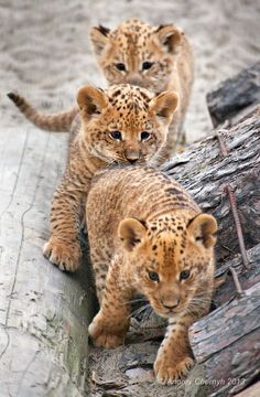 Little cubs playing follow-the-leader.