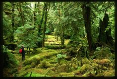 The Great Bear Rainforest is the largest intact temperate rainforest in the world and home to the Kermode (Spirit) Bear. #Travel