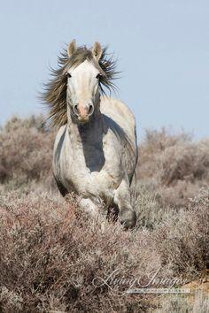 Wild Gray Stallion Running  Fine Art Wild Horse by Carol Walker www.LivingImagesCJW.com