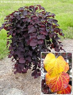 Eastern Redbud (Cercis canadensis 'Ruby Falls'):  Small deciduous tree with large, dark burgundy, typically heart-shaped leaves and weeping habit.  Deep pink flowers on bare wood in April and May.  If not exposed to full sun, foliage may turn dark green.  In autumn, the leaves turn golden yellow and scarlet red before falling.  Full sun;  moist, well-drained soil;  3'-6'H x 3'-6'W;  hardy to zone 6. - havlis.cz