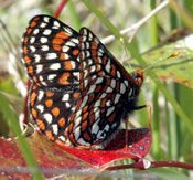 Washington State's endangered Taylor's Checkerspot. So many reasons to go native and protect the natural habitats. Beautiful Butterflies, Beautiful Birds, Beautiful Things, Butterfly Kisses, Science And Nature, Washington State, Habitats, Things To Come, Jehovah