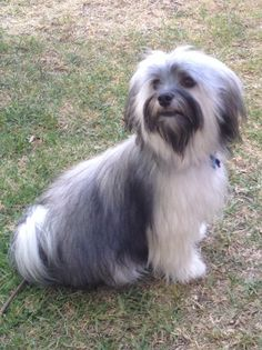 Everything I admire about the Outgoing Havanese Puppies Havanese Haircuts, Havanese Grooming, Havanese Puppies, Dog Grooming, Cute Puppies, Cute Dogs, Dogs And Puppies, Doggies, Puppy Mix