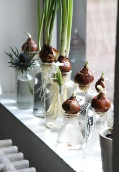DIY: Bottle-Fed Paperwhites: Gardenista Bringing a little pre-spring flowers into the January blahs! Indoor Water Garden, Indoor Plants, Indoor Gardening, Gravel Garden, Indoor Flowers, Concrete Garden, Water Gardens, Garden Soil, Terrace Garden