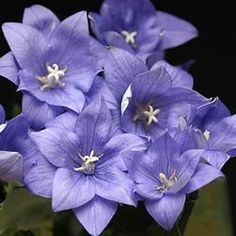 Astra Double Blue Balloon Flower