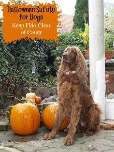 Halloween safety is especially important for dogs when it comes to candy. Most Halloween candy is toxic to dogs, so my Halloween safety tip is keep it away.