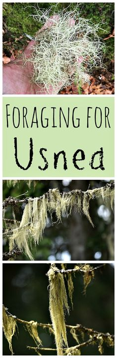 Usnea, also known as Old Man& Beard, is an amazing medicinal lichen! Learn how to forage for Usnea in a sustainable way. Usnea, also known as Old Mans Beard, is an amazing medicinal lichen! Learn how to forage for Usnea in a sustainable way. Healing Herbs, Medicinal Plants, Natural Healing, Natural Medicine, Herbal Medicine, Edible Wild Plants, Wild Edibles, Growing Herbs, Herbal Remedies