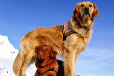 How Avalanche Rescue Dogs Get Trained