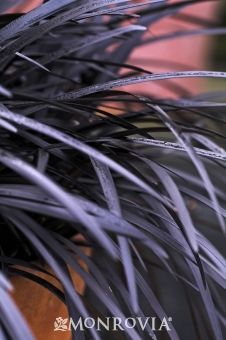 Black Mondo Grass  Ophiopogon planiscapus 'Nigrescens'  Dense, purplish-black, grass-like foliage is an exceptional dark value for gardens. Produces dark lavender flowers and fruit, but this is insignificant. Dense tufts are lush and exotic for Asian gardens, modern looks and high contrast foliage effects. Exciting shade garden plant with diverse applications from singles to groups and masses. Outstanding fine textured color in containers.  5-10