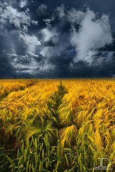 Golden wheat fields of Kansas