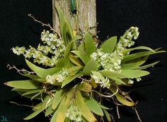 Ornithocephalus myrticola - Orchid Forum by The Orchid Source