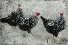 """""""Three French Hens"""" by Passion4Nature, via Flickr"""