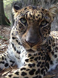 Leopard at Big Cat Rescue in Tampa, Florida.