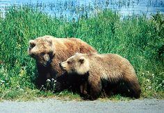 The grizzly bear (Ursus arctos ssp.) is any North American subspecies of brown bear, including the mainland grizzly (Ursus arctos horribilis), Kodiak bear (U. Deadly Animals, Dangerous Animals, Big Game Hunting, Bear Hunting, Grizzly Bear Animal, Grizzly Bears, Polar Bears, Katmai National Park, Image Cat