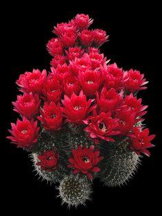 Flor de cacto.