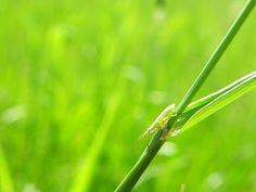 PP Na Popovickem kopci 007 cf Myrmus miriformis - Poa pratensis - Wikipedia Herbs, Herb, Medicinal Plants