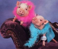 Even pigs need an excuse to dress up every now and then...