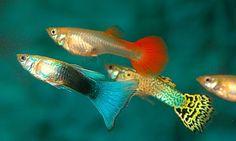 Peces guppy y sus cuidados - http://www.depeces.com/peces-guppy-y-sus-cuidados.html