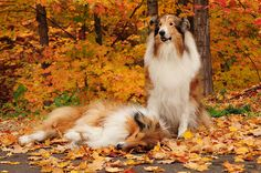 Our rough Collie Boys, Buddy and Zack, Bayfield, WI