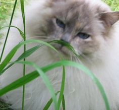 This is my girl Lalka, a ragdoll I adopted from a breeder who had no use for her anymore.  She has been the love of my life for 2 years and today she had a health scare, thankfully she is home from the vet and I'm monitoring her.  I'm starting a pussycat board in her honour. - #cathealthcareinformation #cathealthinformation #informationoncathealthproblems http://www.catbedandtoy.com/complete-cat-health-care-guide