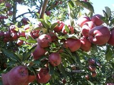 Apples on tree - National Geographic Your Shot