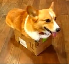 Cranky Corgi Just Wants to Stay in His Box (Video)