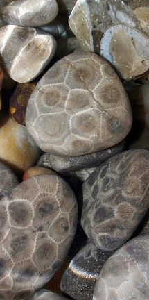 A Petoskey stone ....Michigan's state stone...is a rock and a fossil, often pebble-shaped, that is composed of a fossilized coral that lived 350 million years ago. The rocks rounded in the surf along the shores of Lake Michigan near Petoskey, Michigan.