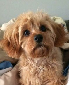 I love this cavapoo!