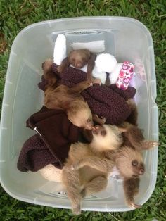 This bucket of baby sloths is the cutest sloth picture you'll see today - be sure to check out our sloth blog for more pictures: http://all-things-sloth.com/sloth-blog/