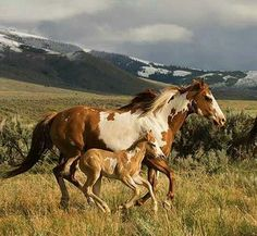 Running free - pinto mare and foal