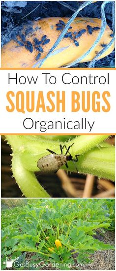 Squash bugs can cause major damage to squash plants in the garden, but they are easy to control. Learn how to control squash bugs organically.