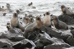 Seals at Seal Rocks, The Nobbies, Phillip Island